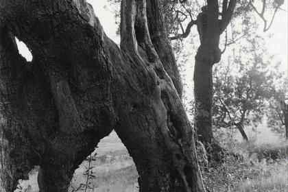 TRUNK: Tuscan Trees by Mark Steinmetz