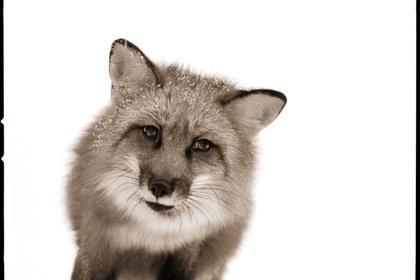 Nine Francois: Animalia II