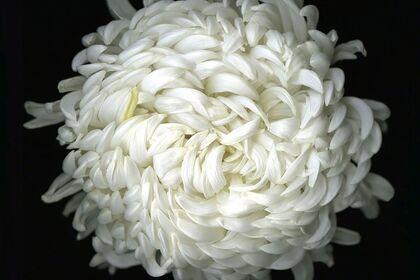 Katinka Matson | White Flowers