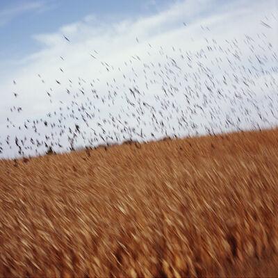 John Huggins, 'Cornfield and Birds, Iowa', 2014