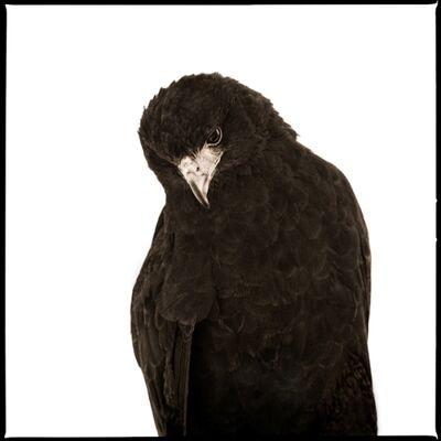 Nine Francois, 'Hawk I', 2017