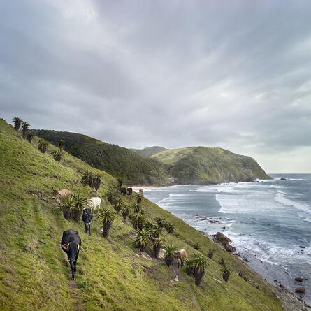 Daniel Naudé, 'Xhosa cattle at Sinangwana river mouth. Eastern Cape, South Africa', 2019