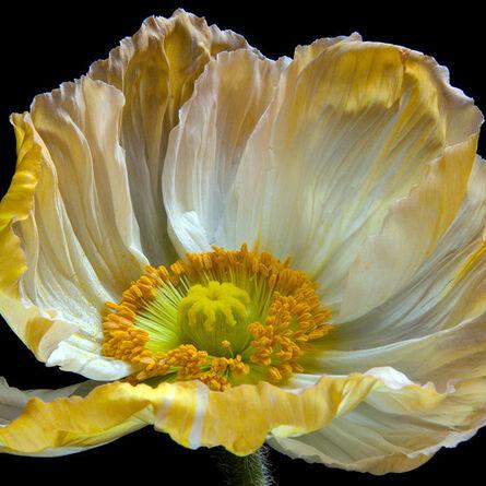 Molly Wood, 'Fatal Flora -Poppy 0088, 2017', 2017