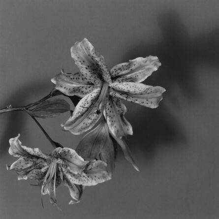 Robert Mapplethorpe, 'Lily', 1979