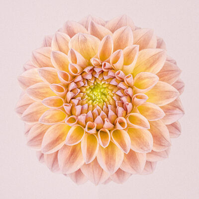 Paul Coghlin, 'Pink and Yellow Dahlia Circle I ', 2015
