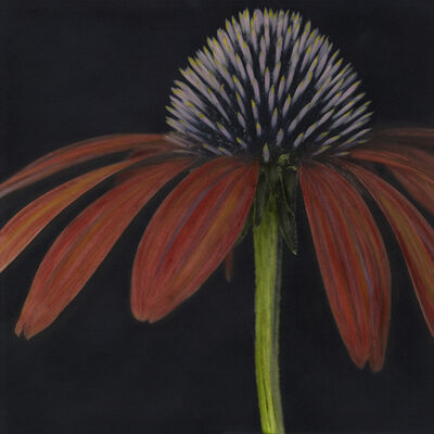 Brigitte Carnochan, 'Echinacea', 2005
