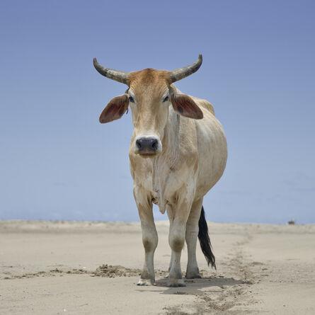 Daniel Naudé, 'Xhosa ox on the shore. Umthata river mouth, Eastern Cape, South Africa', 2019