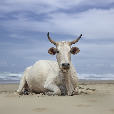 Daniel Naudé, 'Xhosa cow sitting on the shore. Noxova, Eastern Cape, South Africa', 2019