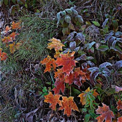 Roberta Bondar, 'Frosted Maple Leaves', Printed: 2010-Photographed: 1997