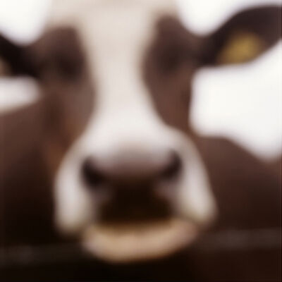 John Huggins, 'Cow, Lewknor, Oxfordshire, England', 2002