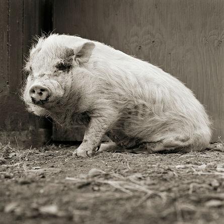 Isa Leshko, 'Violet, Potbellied Pig, Age 12, II', 2011