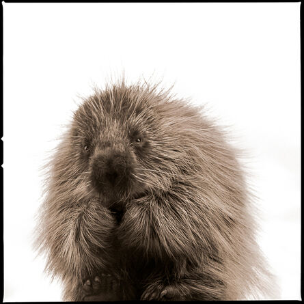 Nine Francois, 'Porcupine-I'