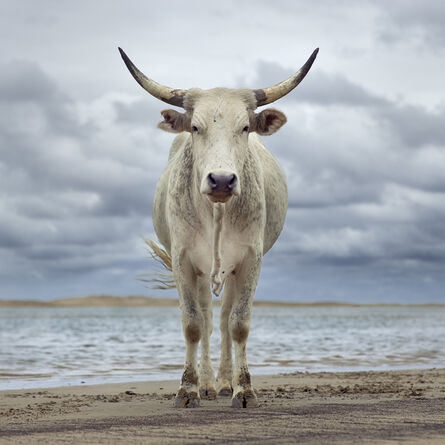Daniel Naudé, 'Xhosa cow on the shore. Kei river mouth, Eastern Cape, South Africa', 2019
