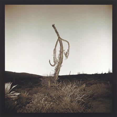 Richard Misrach, 'Boojum Tree', 1976 -2001