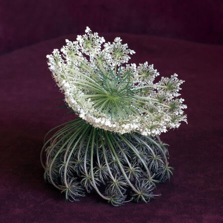 Helen Sear, 'Wild Flower Arrangement No. 6 (Daucus Carota)', 2015