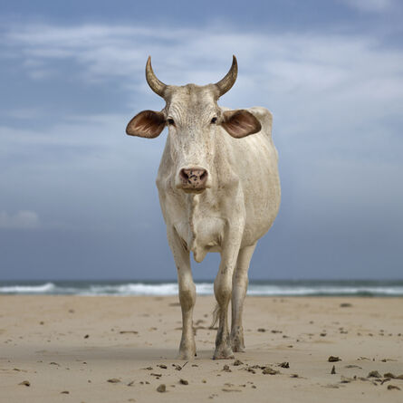 Daniel Naudé, 'Xhosa Nguni cow on the shore. Mpande, Eastern Cape, South Africa', 2019