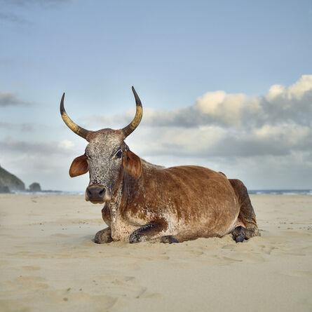 Daniel Naudé, 'Xhosa Nguni cow sitting on the shore. Mpande, Eastern Cape, South Africa', 2019