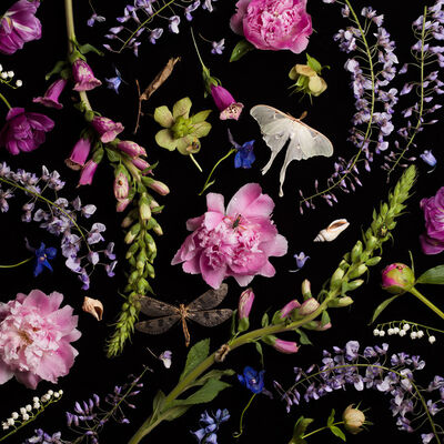 Paulette Tavormina, 'Botanical V (Peonies and Wisteria)', 2013