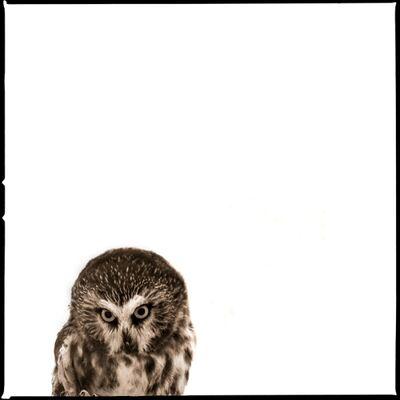 Nine Francois, 'Owl IV', 2017
