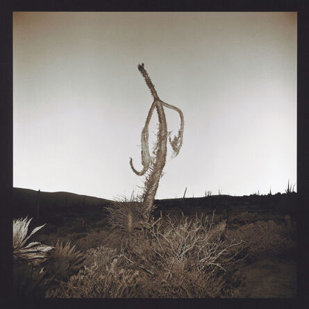 Richard Misrach, 'Boojum Tree', 1976-2001