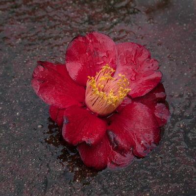 Hiroshi Watanabe, 'TDTDC 15 (Wet Camellia)', 2011