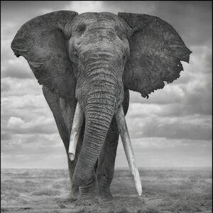 Nick Brandt, 'Elephant Sails', 2008
