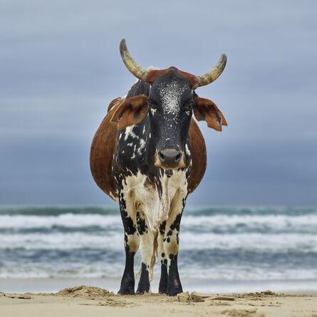 Daniel Naudé, 'Xhosa cow on the shore. Qoloha, Eastern Cape, South Africa', 2018