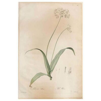 Pierre Joseph Redouté, 'Allium Album Hand Painted Colored Engraving Signed P.J. Redoute', 1800