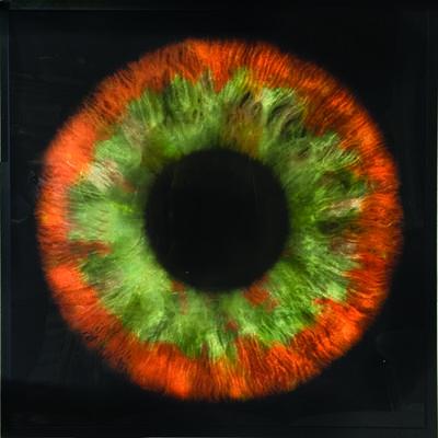 Daniel Gastaud, 'Iris Flowers'