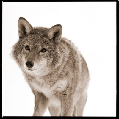 Nine Francois, 'Coyote I', 2017