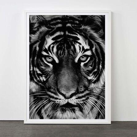 Robert Longo, 'Tiger, 2011', 2011