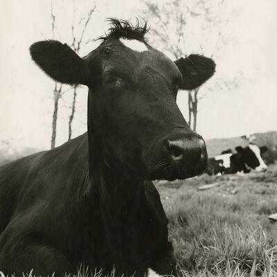 Peter Hujar, 'Face of a Cow Lying Down, Hyrkin Farm', 1978