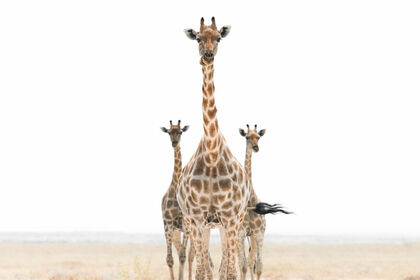 Save the Giraffes Now  Benefit Event