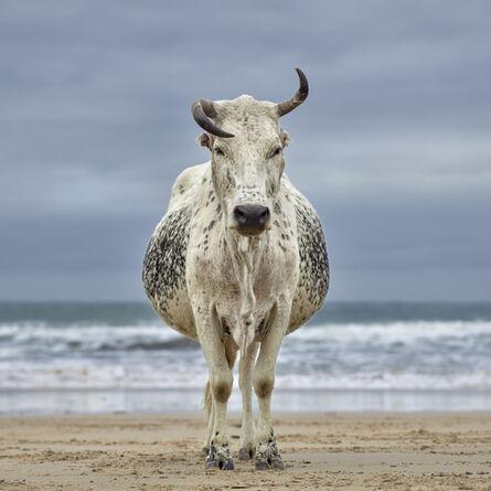 Daniel Naudé, 'Xhosa Nguni cow on the shore. Qoloha, Eastern Cape, South Africa', 2018