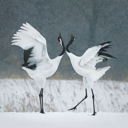 Tim Flach, 'Red Crown Cranes Courting', 2017
