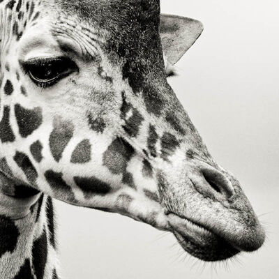 Paul Coghlin, 'Portrait of a Giraffe', 2012