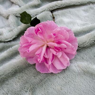 Juan Hidalgo, 'The Making of a Rose', 2008