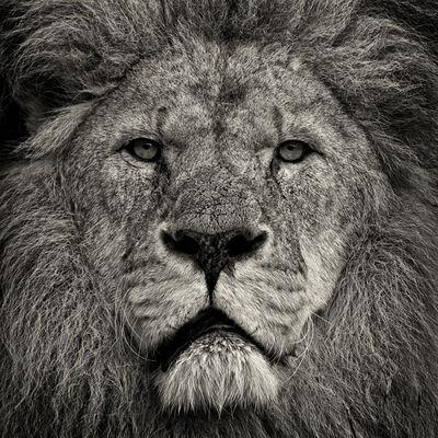 Paul Coghlin, 'Lion's Stare', 2009
