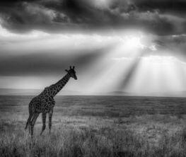 African Wildlife in Black & White
