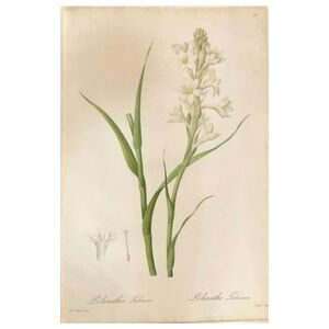 Pierre Joseph Redouté, 'Polianthes Tuberosa Hand Colored Engraving Signed P.J. Redoute', 1800