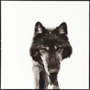 Nine Francois, 'Wolf 3', 2014