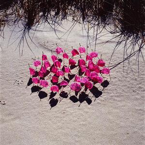 Nils Udo, 'Petal of the Dog Rose Rosa Rugosa', 1986
