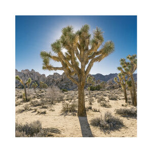 Daniel Mirer, 'Joshua Tree, Mojave Desert, California, USA', 2017