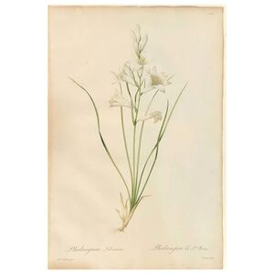 Pierre Joseph Redouté, 'Phalangium Liliastrum Hand Painted Colored Engraving Signed P.J. Redoute', 1800