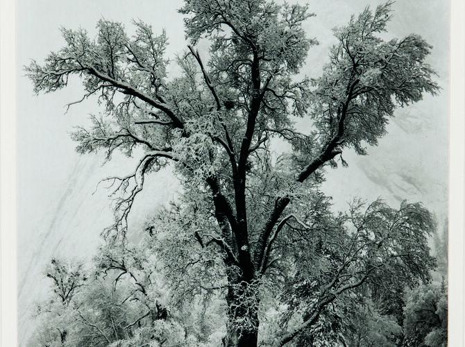 Trees by Ansel Adams