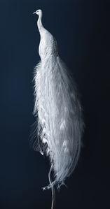 Peacock - Pavo exosceletus