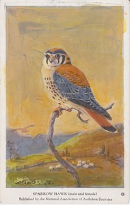 Sparrow Hawk Kestral