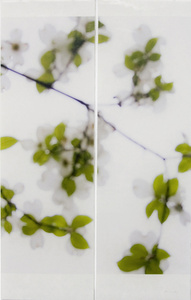 Dogwood (White)
