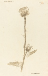 Carduus Maarianus