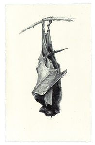 Sleeping Bat